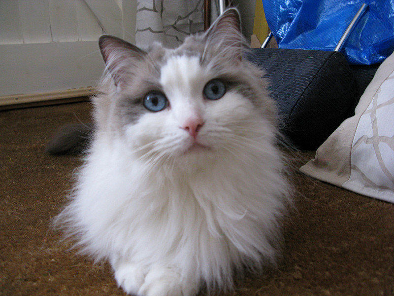 Get Great Care for Your Ragdoll Cat with Quality Pet Insurance